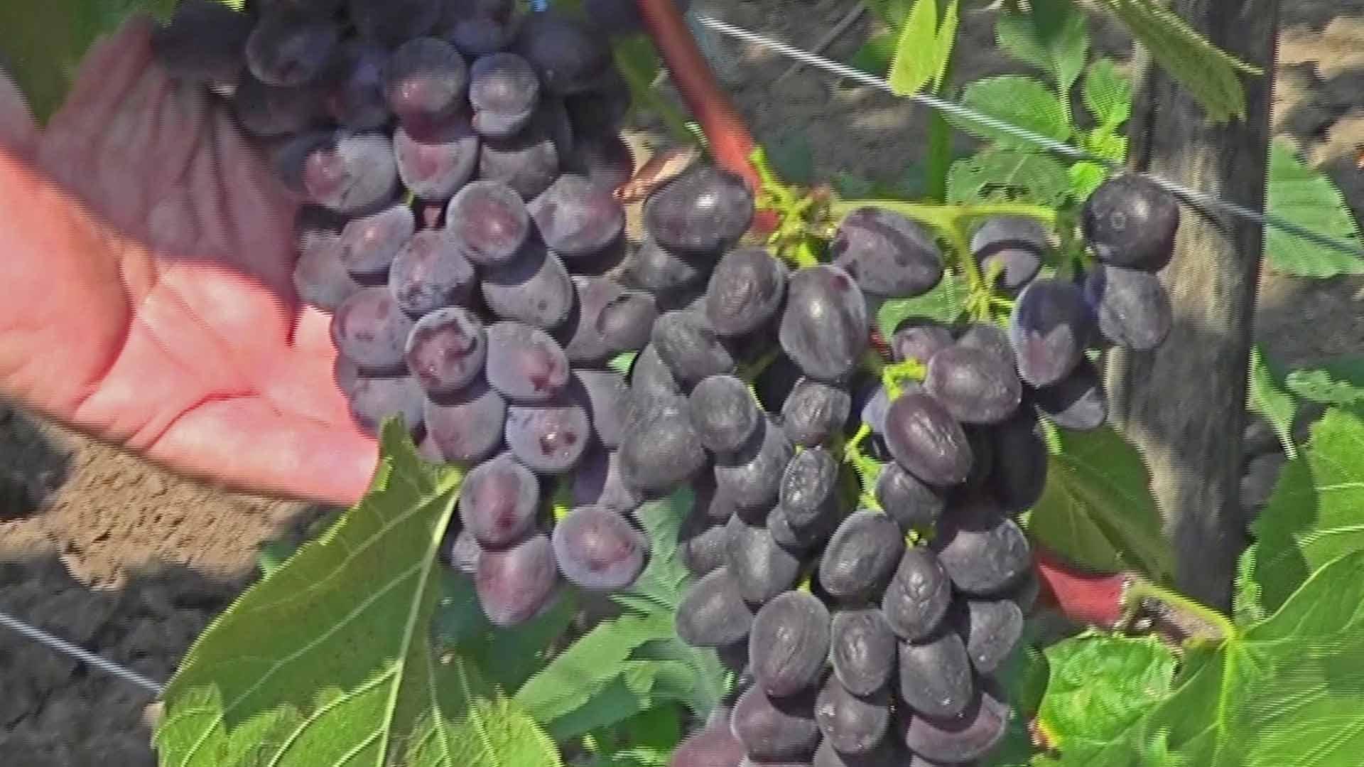 """Виноград """"кишмиш юпитер"""": фото, описание сорта, защита от вредителей и болезней selo.guru — интернет портал о сельском хозяйстве"""