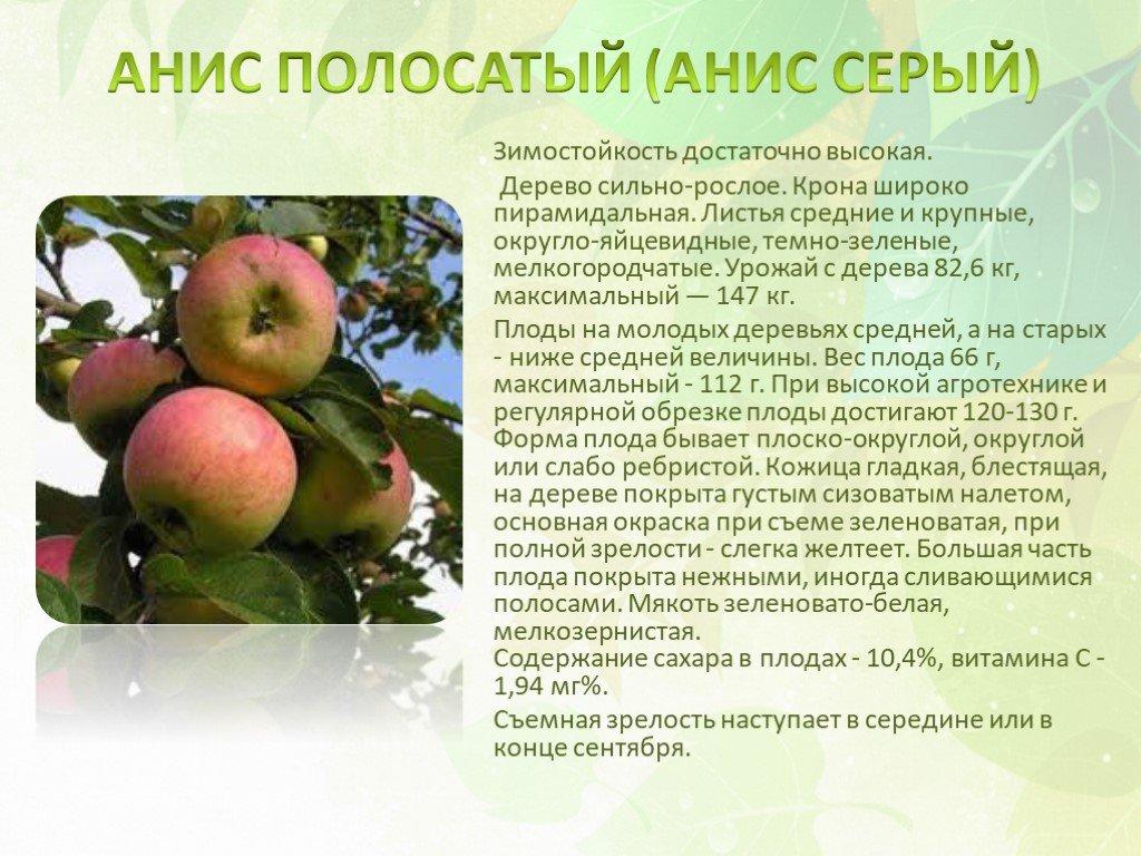 Яблоня анис – описание сорта и 5 главных преимуществ