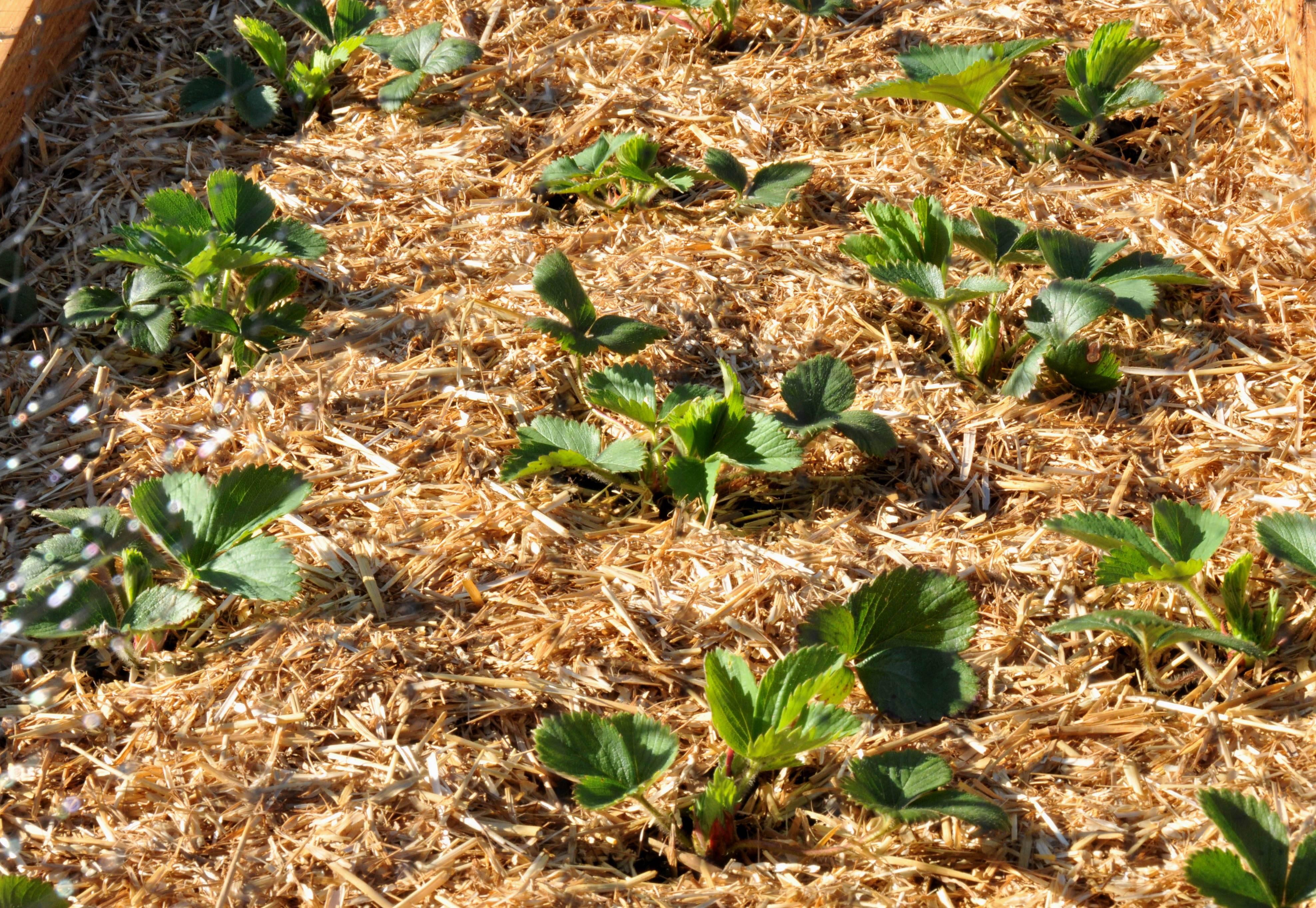 Выращивание картофеля без прополки и окучивания: как сделать с умом и что для этого нужно? русский фермер