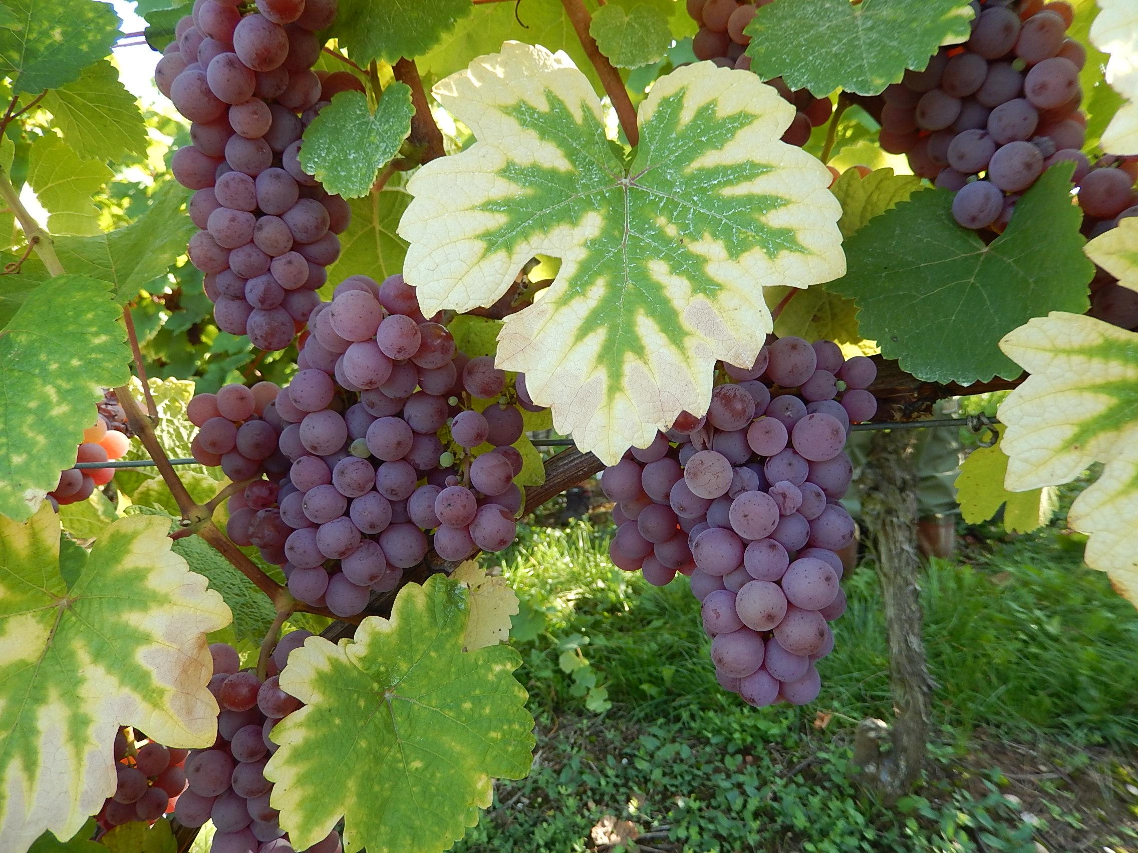 Шампанский сорт винограда пино нуар и его разновидности