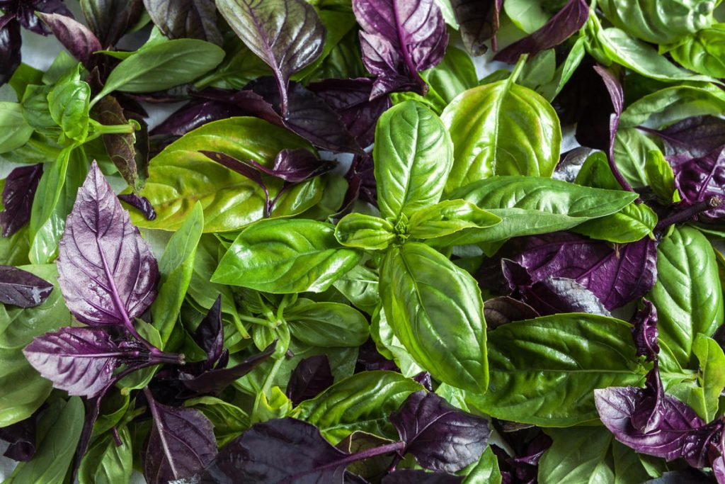 Базилик фиолетовый (арарат, ереванский): польза и вред для здоровья, выращивание из семян