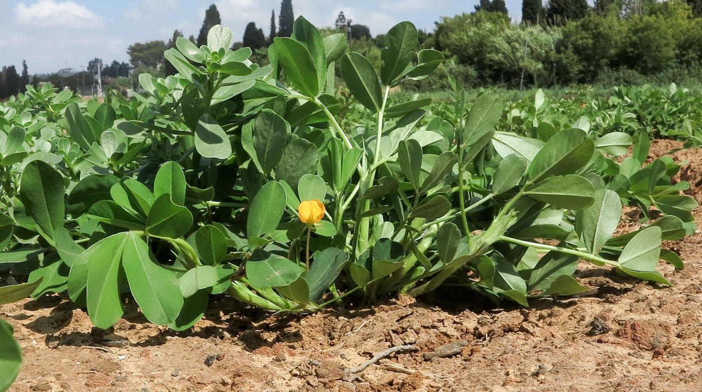 Когда садить кукурузу на рассаду в сибири и на урале, надо ли сеять весной и как вырастить, и лучшие сорта для выращивания – сладкие и нет, уход в открытом грунте