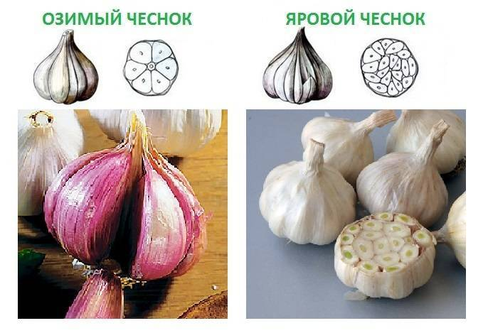 Мир овощей