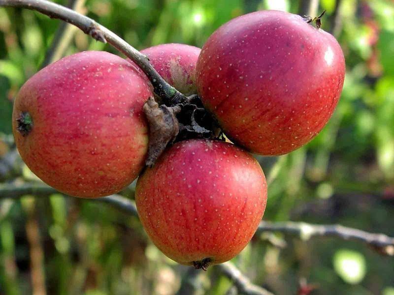 Яблоня зимняя беркутовское: описание сорта - про сорта