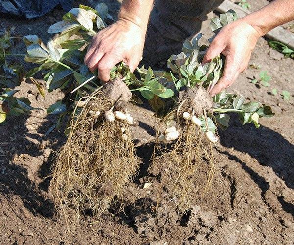 Как на даче в средней полосе вырастить арахис, тонкости посадки и ухода