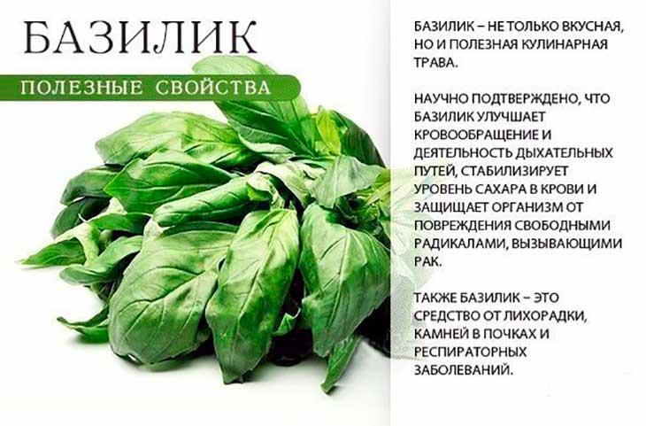Базилик: полезные свойства и противопоказания - agroflora.ru