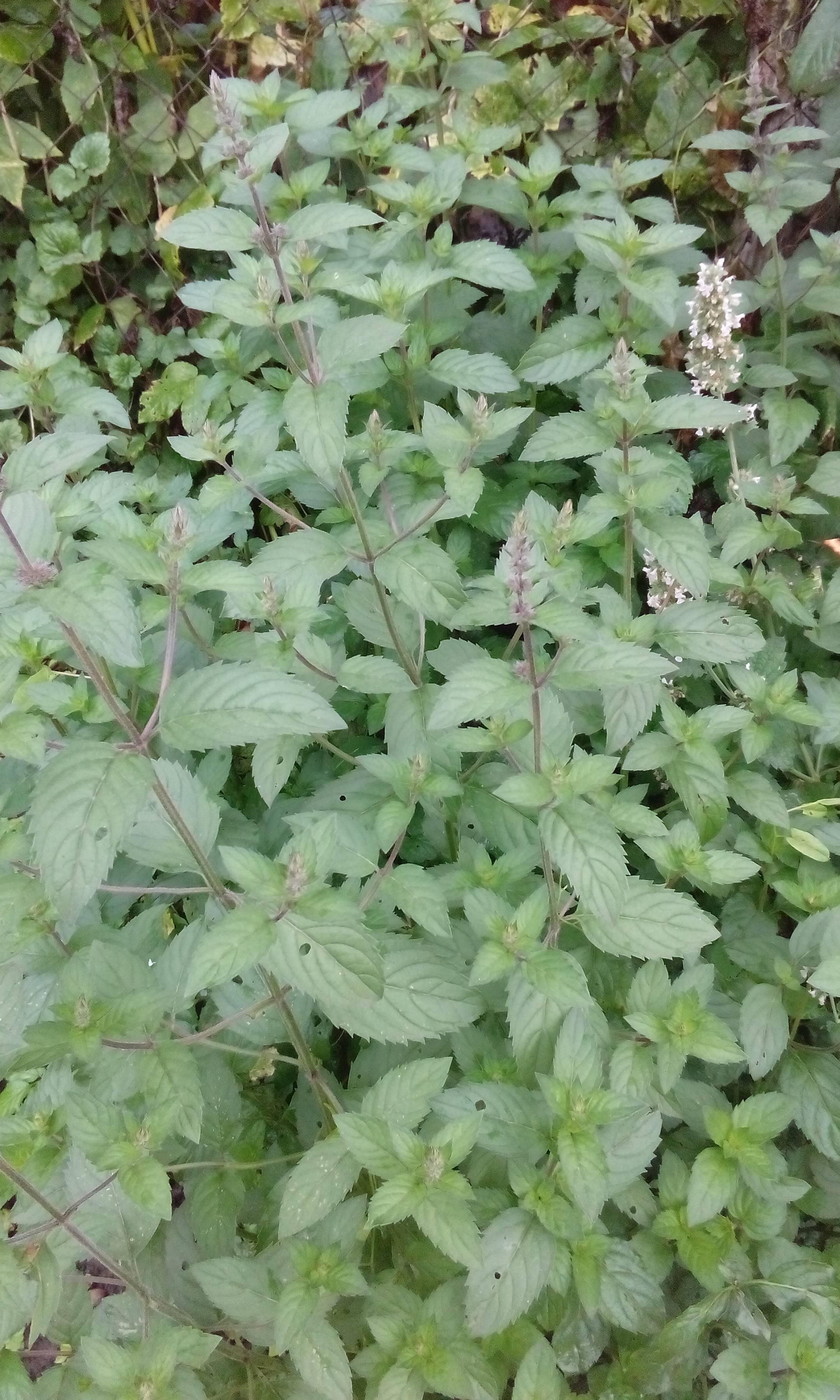 Мята — какую выбрать и как выращивать? описание видов, агротехника, фото — ботаничка.ru