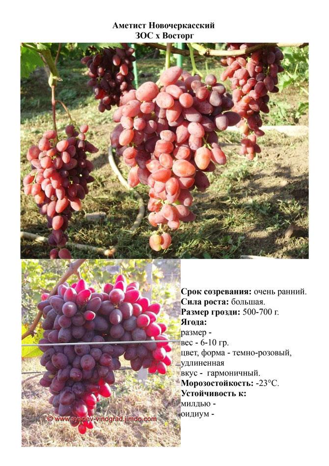 """Виноград """"юбилей новочеркасска"""": описание сорта, фото, отзывы"""