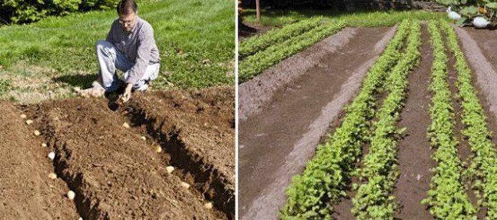 Как определить расстояние между рядами картофеля