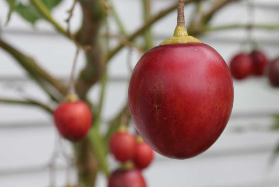 Тамарилло или томатное дерево: основная характеристика фрукта