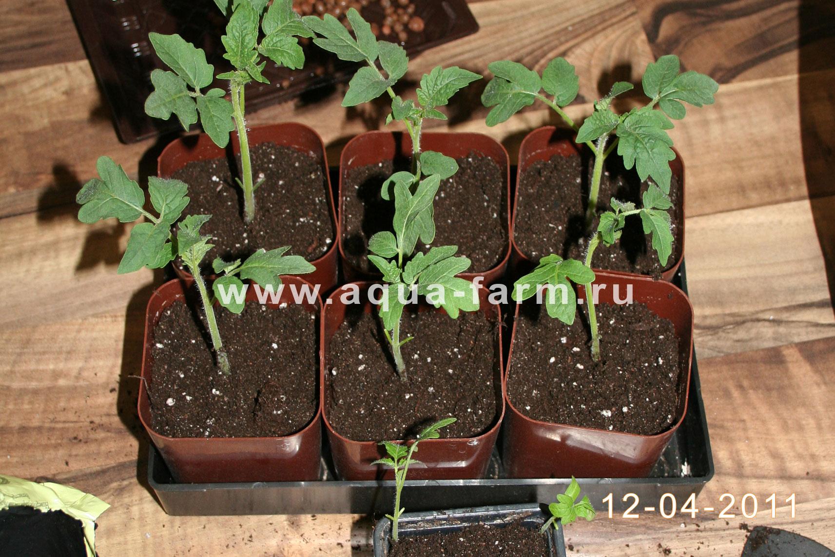 Пикировка томатов ганичкина – описание метода с видео