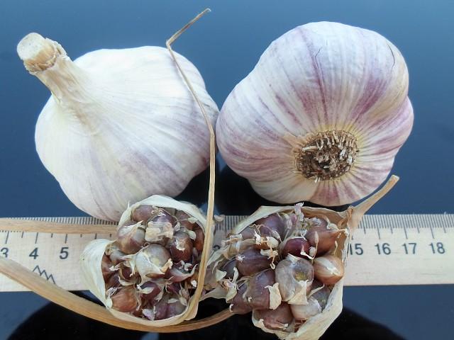 Чеснок: описание лучших сортов чеснока и особенности выращивания