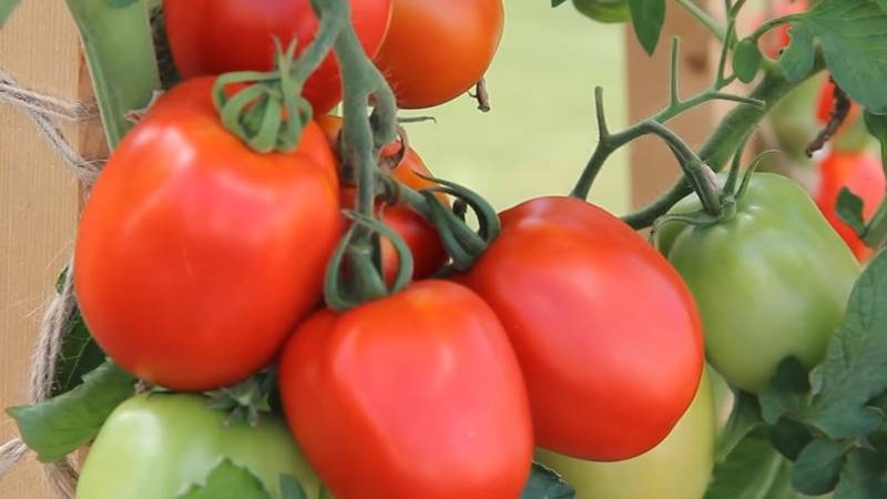 Томат великосветский: характеристика и описание гибрида помидоров, фото урожая и отзывы о сложностях его выращивания