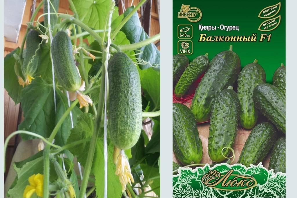 Как вырастить огурцы на балконе: балконные сорта + выращивание пошагово