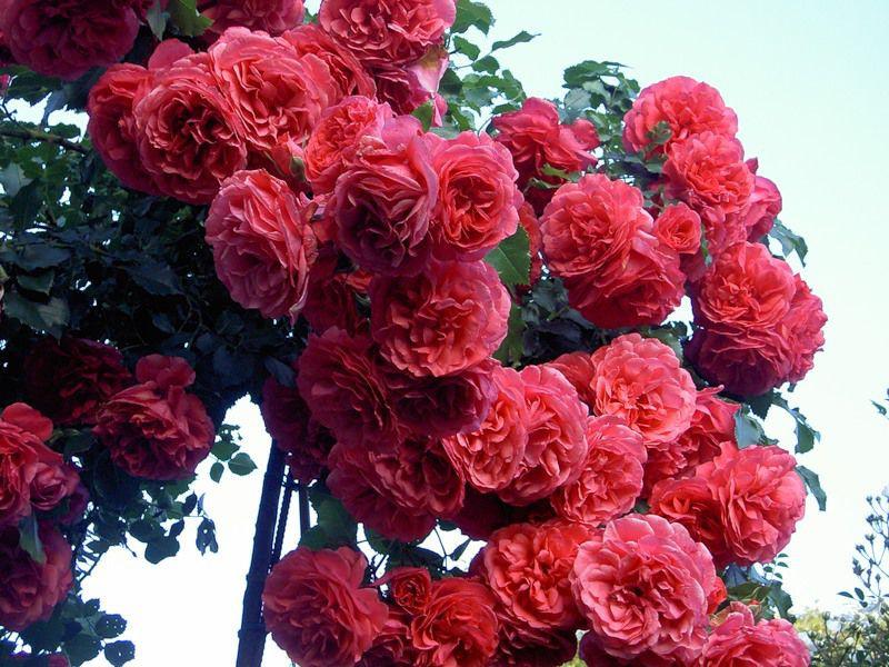 Розариум ютерсен роза - описание сорта, выращивание и уход   розоцвет