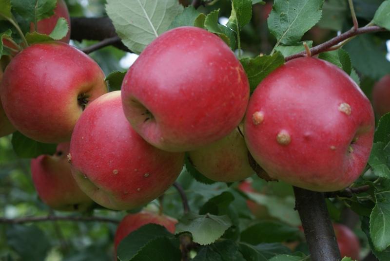 Яблоня благая весть: описание сорта, фото, отзывы