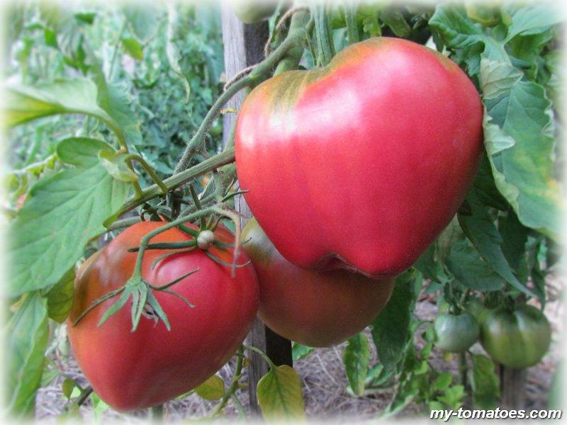 Украшение грядки с необычным цветением — томат «японская роза» и его преимущества перед другими сортами