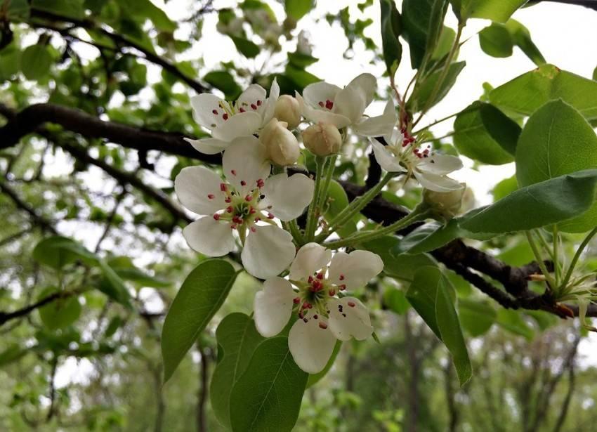 Почему не плодоносит груша причины. груша дает цвет, но не дает плодов