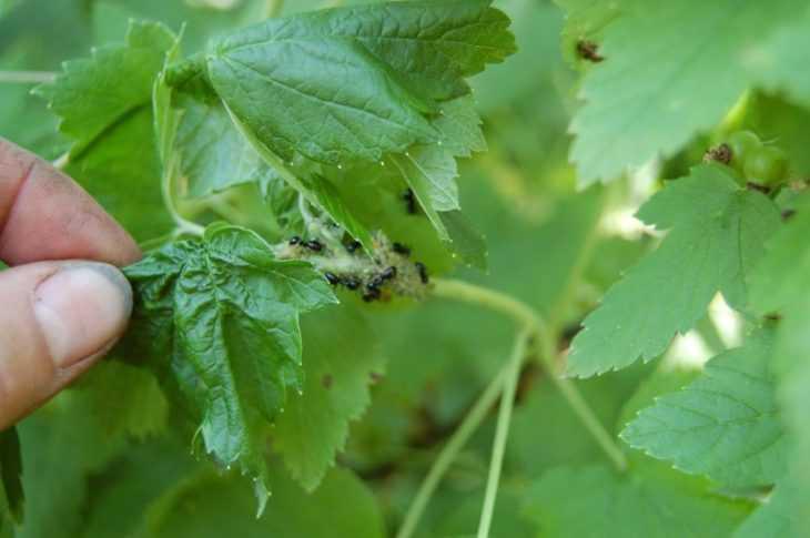 Болезни и вредители смородины, в том числе лечение и восстановление растения, а также сорта устойчивые к заболеваниям, с описанием, характеристикой и отзывами