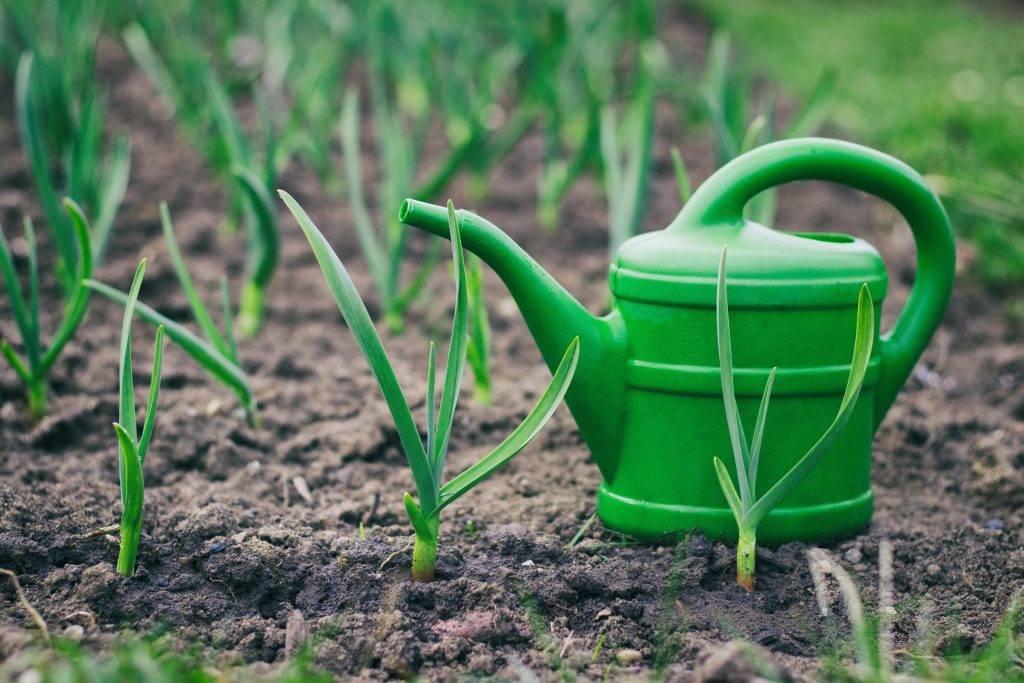 Чем подкормить чеснок весной, посаженный под зиму, чтобы не желтел и был крупный, удобрения, народные средства, отзывы
