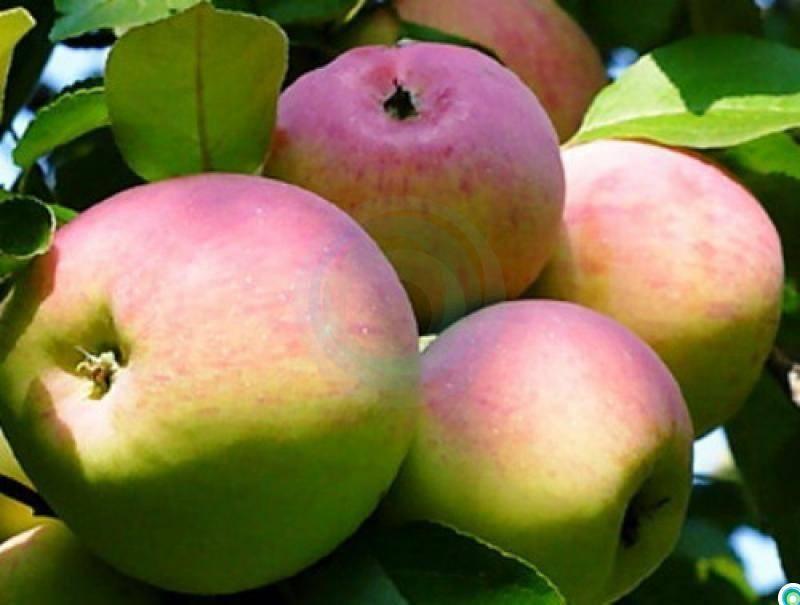 Яблоня заветное: описание, фото, отзывы