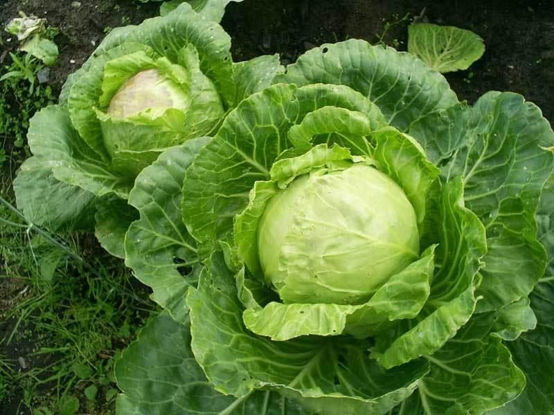 Чем из народных средств подкормить капусту после высадки в открытый грунт для роста: чем удобрять без химии, если овощи плохо растут и как применять способы?