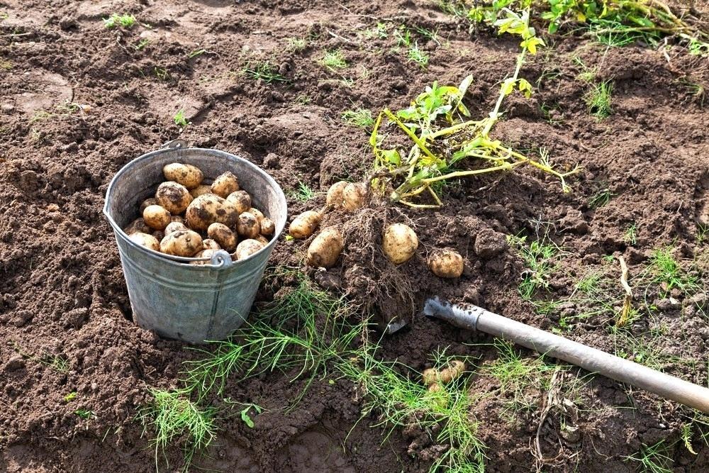 Как спасти картофель в дождливое лето: посадка, уход и сбор урожая в непогоду
