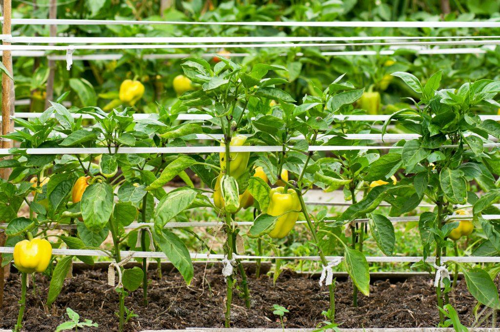 Выращивание перца в открытом грунте правильно: от посадки до урожая