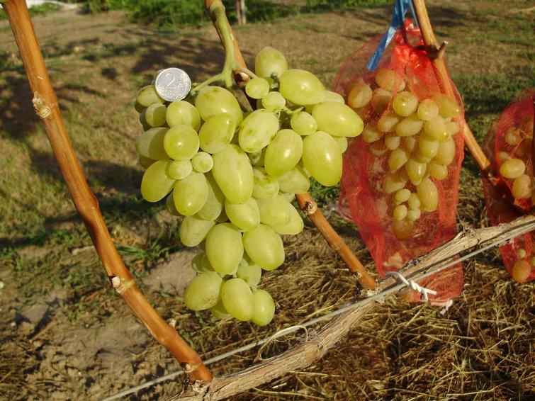Сорт винограда велес: описание, особенности ухода и размножение