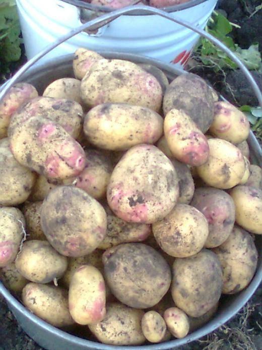 Картошка «сорокодневка»
