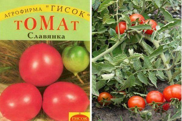 Описание томата Славянка и правила посадки растения
