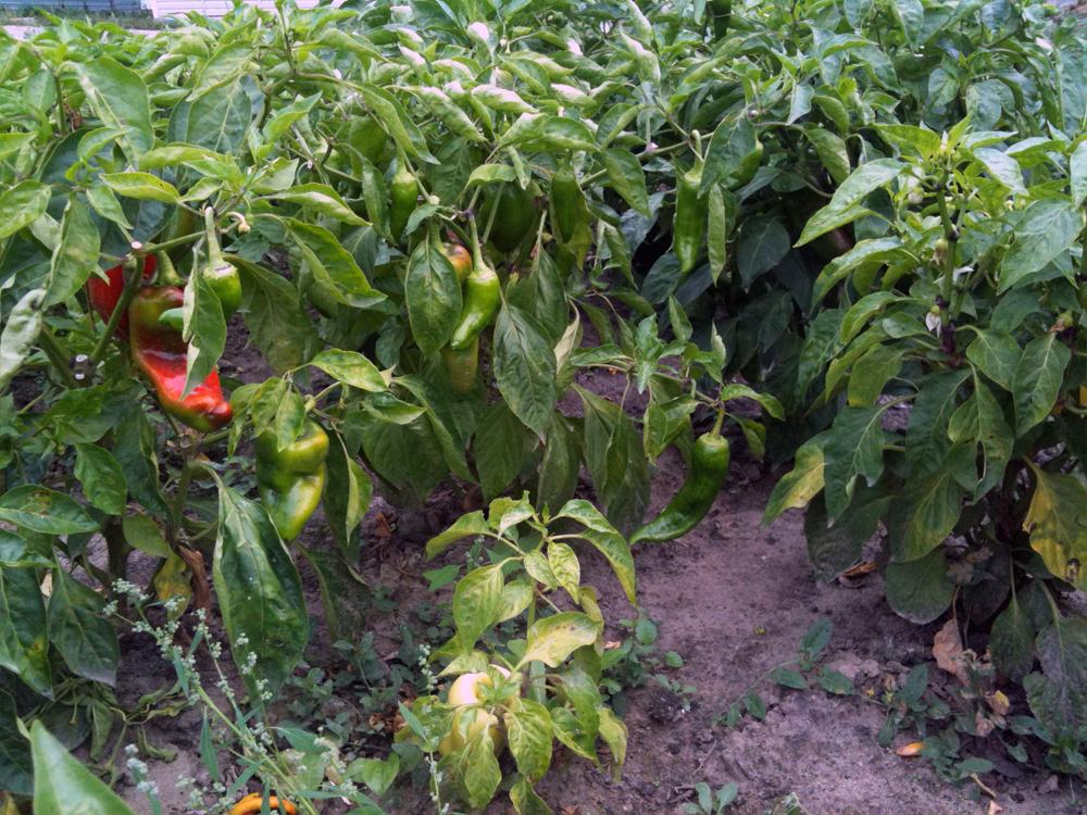 Выращивание и уход за горьким перцем в открытом грунте, формирование и сбор урожая