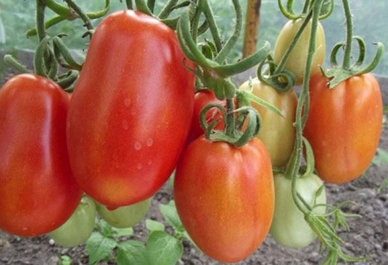 Гулливер: описание сорта томата, характеристики помидоров, посев