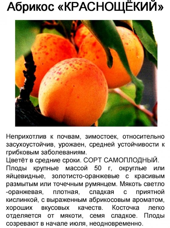 Описание и технология выращивания абрикоса сорта Царский