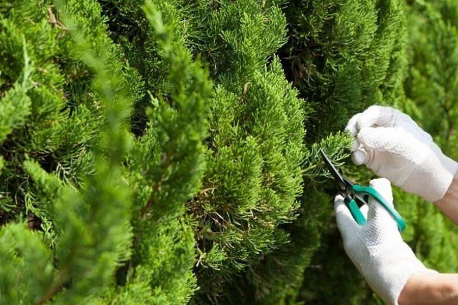 Как ухаживать за туей в саду, чтобы она была пышная и зеленая?