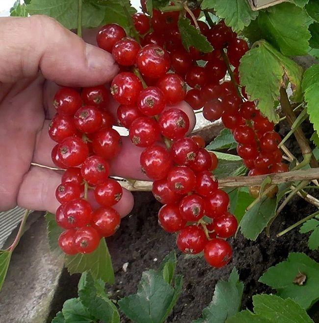 Красная смородина на садовом участке: посадка и уход