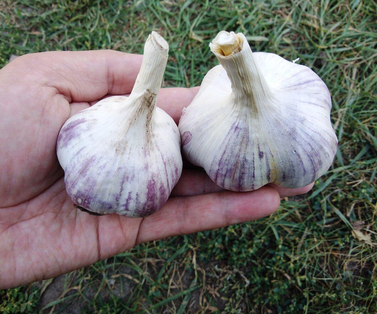 Как спасти чеснок от вырождения: выращивание из бульбочек
