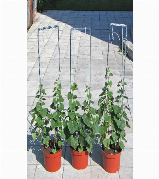 Огурцы на балконе выращивание пошагово для новичков с фото