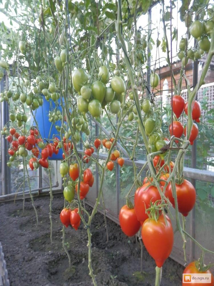 Томат гибрид тарасенко 7: описание сорта, отзывы, фото, урожайность   tomatland.ru