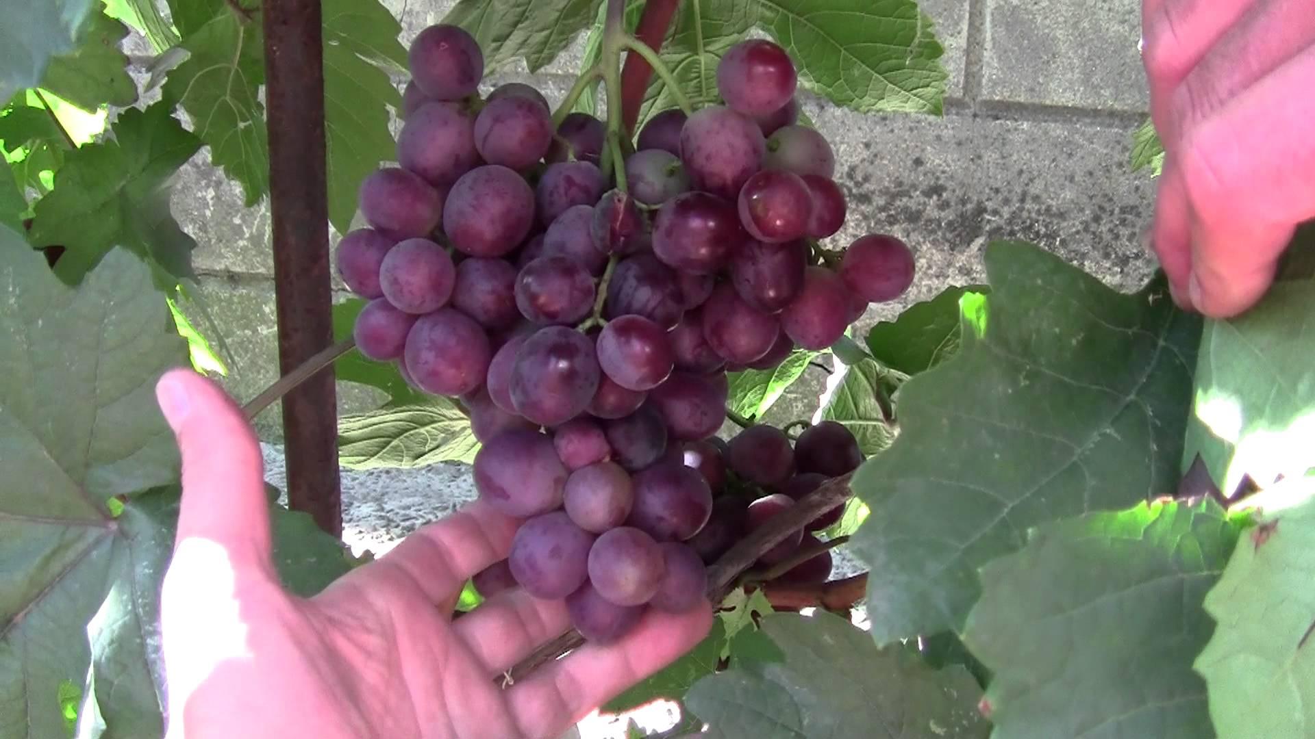 Виноград виктория: описание, фото и отзывы
