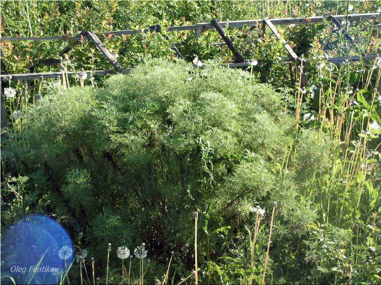 ✅ укропное дерево фото и описание. укропное дерево — выращивание и фото растения - cvetochki-ulyanovsk.ru