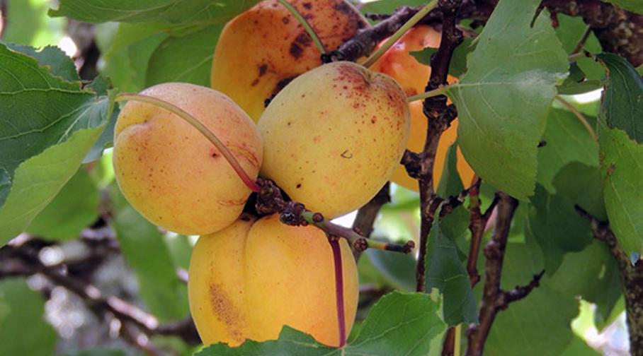 Причина сбрасывания сливой еще зеленых плодов, когда они маленькие и не созрели