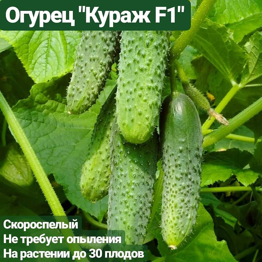 Огурец кураж f1: фото, отзывы, описание и выращивание сорта корнишонов, особенности посадки и дальнейшего ухода, урожайность