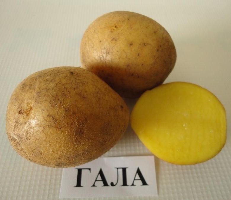 Сорт картофеля гала: описание, особенности, отзывы, фото