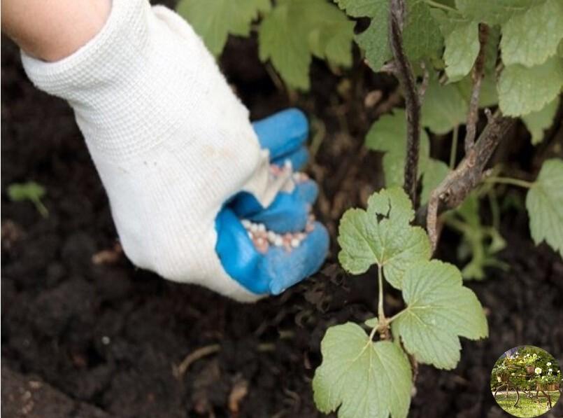 Подкормка смородины, в том числе весной, а также как подкормить куст картофельными очистками