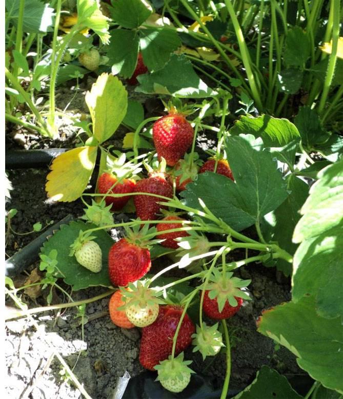Клубника клери - описание сорта, фото, отзывы садоводов