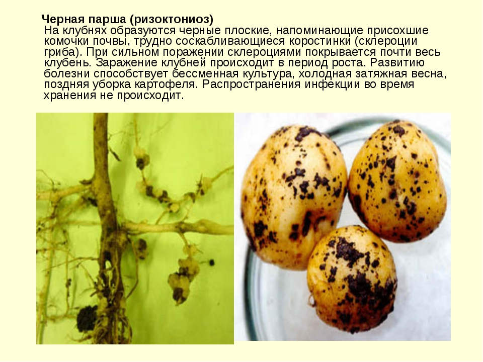 ᐉ ризоктониоз картофеля (черная парша) – причины и профилактика - roza-zanoza.ru