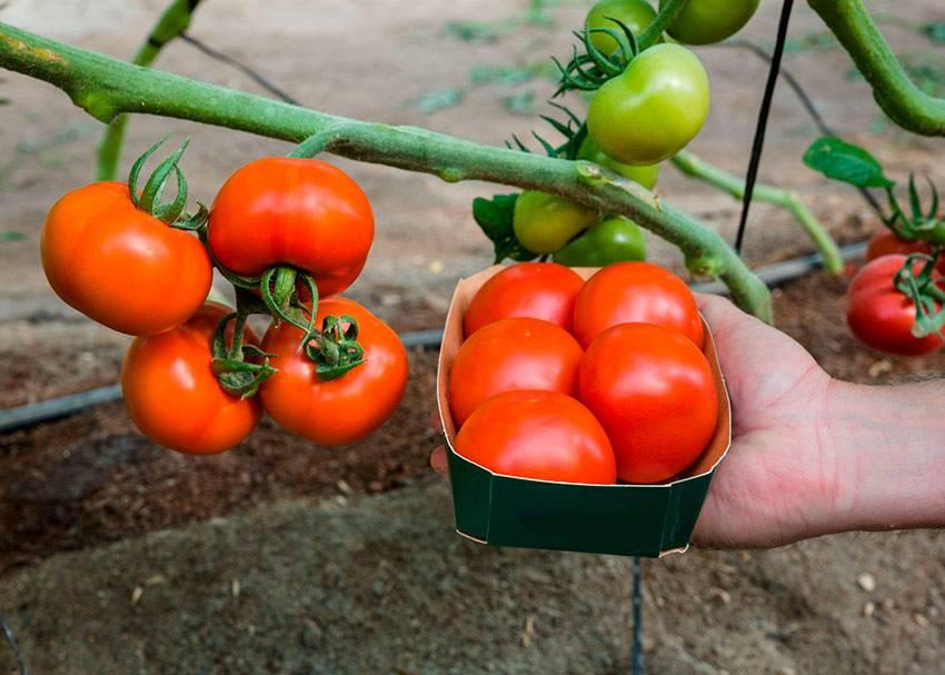 ✅ о томате соседская зависть: описание сорта, характеристики помидоров, посев - tehnomir32.ru