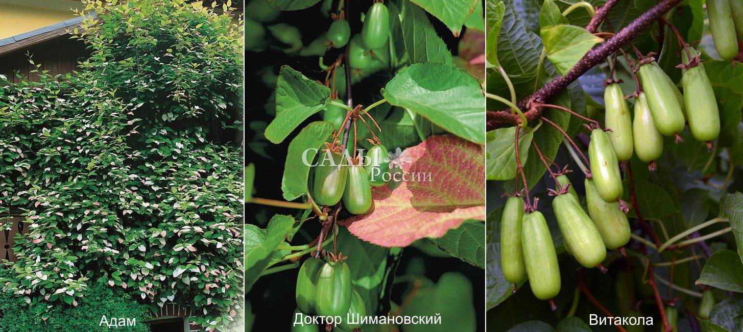 Актинидия (50 фото): популярные сорта, правила посадки и ухода - happymodern.ru
