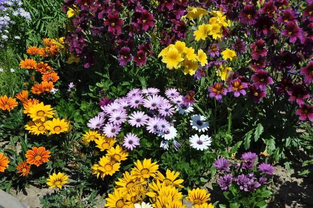 Лучшие однолетние цветы - 120 фото выращенные без рассады в цветнике